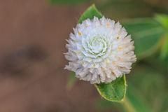 Globe Amaranth or Bachelor Button flower Royalty Free Stock Photo