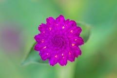 Globe Amaranth or Bachelor Button flower Stock Photo