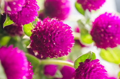 Globe Amaranth or Bachelor Button flower Royalty Free Stock Photography