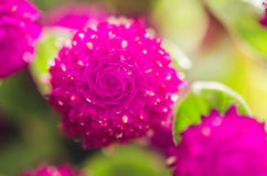 Globe Amaranth or Bachelor Button flower Stock Photography