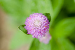 Globe Amaranth or Bachelor Button flower macro close-up shot in nature. stock images