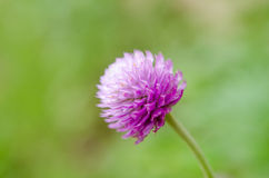 Globe Amaranth or Bachelor Button flower macro close-up shot in nature. stock image