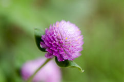 Globe Amaranth or Bachelor Button flower macro close-up shot in nature. royalty free stock photography