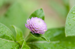 Globe Amaranth or Bachelor Button flower macro close-up shot in nature. royalty free stock photo