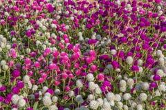 Globe amaranth beauty Flower Royalty Free Stock Photography