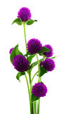 Globe amaranth beauty flower in white background. Stock Photography
