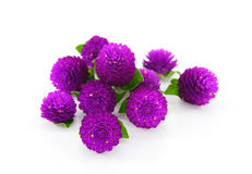 Globe amaranth beauty flower in white background. Stock Photo