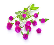 Globe amaranth beauty flower in white background. Royalty Free Stock Images
