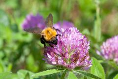 Globe amaranth and bumblebee. This is a picture of bumblebee was staying in bachelor button on the day of the summer Stock Photo