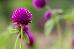 Globe amaranth. Close up Globe amaranth Stock Photo