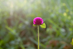 Globe amaranth in the everning light Royalty Free Stock Photos