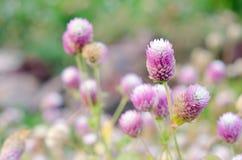 Globe Amaranth Flower blurred background Royalty Free Stock Images