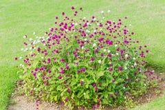 Globe amaranth flower bush on green grass. In the garden Royalty Free Stock Photos