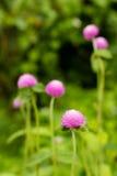 Globe Amaranth Flower Stock Images