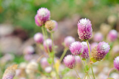 Globe Amaranth Flower with selective focus and blurred backgroun Royalty Free Stock Image