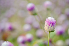 Globe Amaranth Flower with selective focus and blurred backgroun Stock Photos