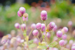 Globe Amaranth Flower with selective focus and blurred backgroun Royalty Free Stock Images