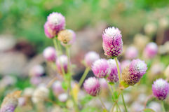 Globe Amaranth Flower with selective focus and blurred backgroun Royalty Free Stock Photos