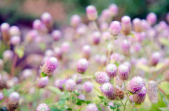 Globe Amaranth Flower with selective focus and blurred backgroun Royalty Free Stock Photography