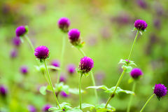 Globe Amaranth flowers. Close up of purple Globe Amaranth flowers or Bachelor's Buttons Royalty Free Stock Image