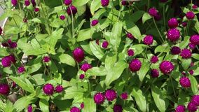 Globe Amaranth stock footage