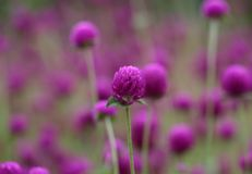 Globe amaranth Stock Photo