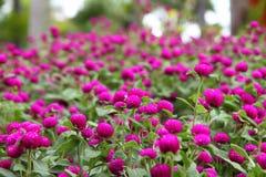 Globe amaranth or Gomphrena globosa Royalty Free Stock Photo