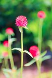 Globe amaranth Royalty Free Stock Image