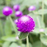 Globe amaranth or Gomphrena globosa flower in the garden Royalty Free Stock Photos