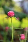 Globe amaranth or Gomphrena globosa flowers. Globe amaranth, Gomphrena globosa flowers stock photos