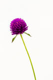 Globe amaranth or Gomphrena globosa. Stock Photography
