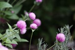 Globe Amaranth Growing in a Flower Garden. Globe amaranth or Gomphrena globosa flowers growing in a garden. Extreme shallow depth of field with selective focus royalty free stock photography