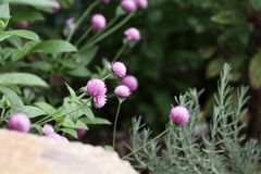 Globe Amaranth Growing in a Flower Garden. Globe amaranth or Gomphrena globosa flowers growing in a garden. Extreme shallow depth of field with selective focus stock photo