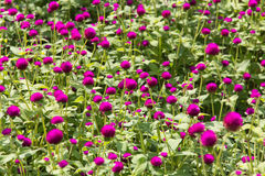 Globe amaranth plants Stock Image