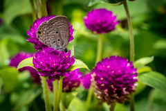 Globe Amaranth. Purple Globe Amaranth flowers with gray butterfly royalty free stock photo