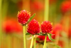 Globe amaranth royalty free stock photography