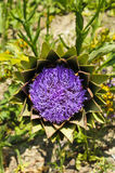 Globe artichoke (Cynara cardunculus) blooming Stock Photography