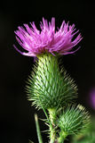 Globe artichoke Stock Images