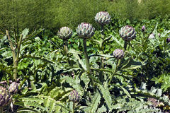 Globe artichoke florets in a vegetable garden. Edible purple green globe artichoke florets in summer vegetable garden, lush and green, on a hot sunny day Royalty Free Stock Image