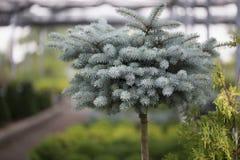 Globe Blue Spruce Royalty Free Stock Photography