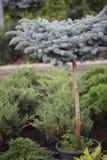 Globe Blue Spruce Stock Photo