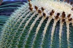 Globe cactus plant closeup Stock Photo