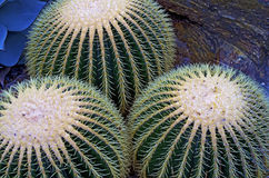 Globe cactus plants closeup. Close up of golden barrel cactus (Echinocactus grusonii) in botanical garden royalty free stock photos