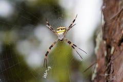 Globe d'or géant Weaver Spider en Thaïlande du nord Photo libre de droits
