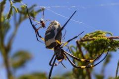 Globe d'or Weaver Spider avec un jeune bébé 1 photos stock