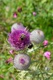 Globe daisie (Globularia cordifolia L.). And bumblebee Royalty Free Stock Photography