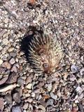 Globe fish between rocks and shells Stock Photography