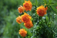 Globe-flower. (Trollius asiaticus L) - Siberian primroses Stock Photos