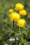Globe-flower (Trollius europaeus) Royalty Free Stock Photo