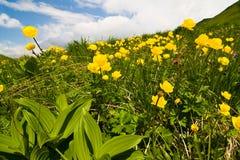 Globe-flower, Trollius europaeus Royalty Free Stock Images